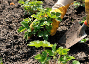 Правила посадки клубники в грунт