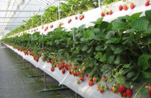 Популярные способы выращивания клубники