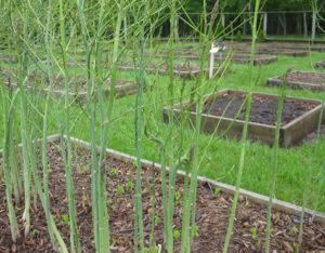 Семена аспарагуса в грунт