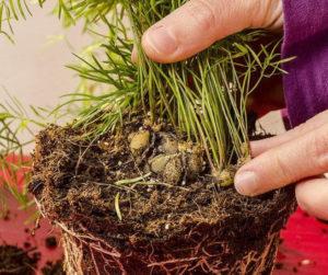 Выращивание спаржи делением куста
