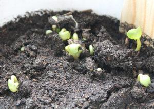 Сроки посева семян циннии