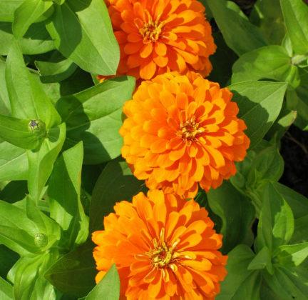 Георгиноцветковая