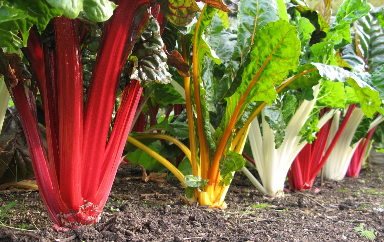 Листовая свекла мангольд: описание сорта, выращивание и уход с фото