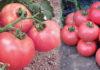 Отзывы о преимуществах сорта помидор Розовый мед