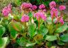 Цветок бадан (бергения)