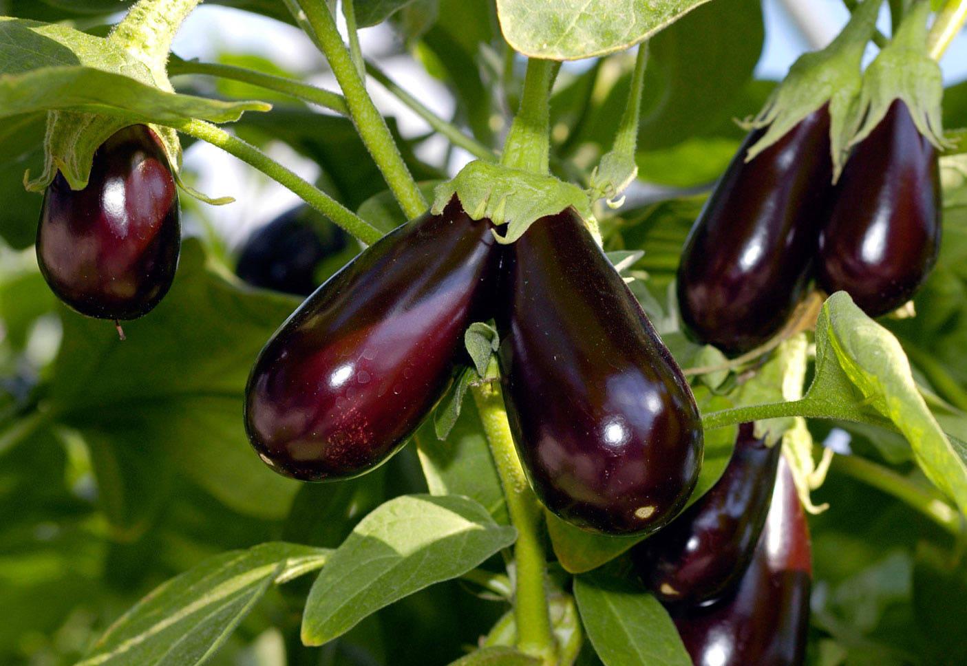 30 самых урожайных сортов баклажанов для посадки в открытый грунт