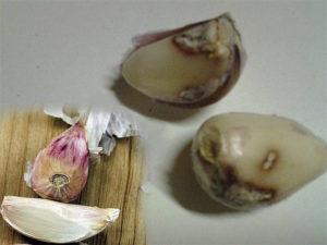 Бактериоз поражает чеснок