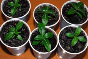 Семена на рассаду