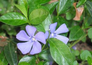 Размножение отводками растения