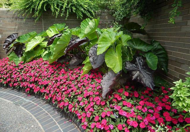 Способы размножения и правила выращивания барвинка в саду