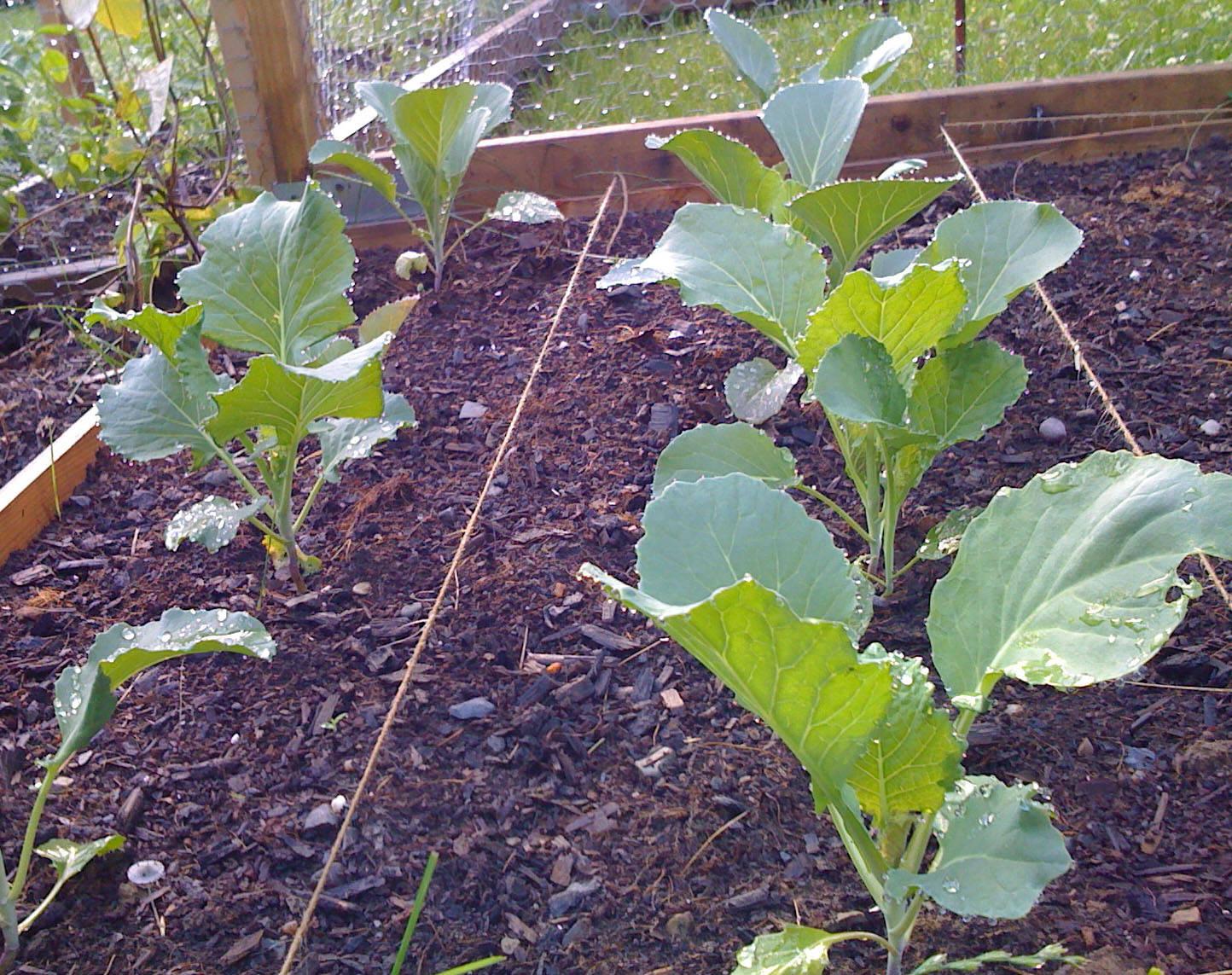 агротехника выращивания капусты белокочанной видео