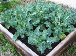 Семена на рассаду для брокколи