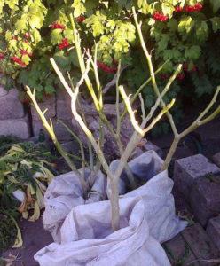 Подготовка растения к зиме