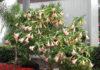 Описание цветка бругмансия