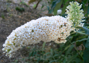 Буддлея белоцветковая
