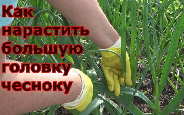 Секреты для выращивания большой головки чеснока