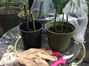 Размножение георгин зелеными черенками