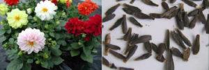 Семена цветка - выращивание