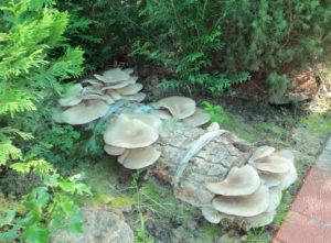 Грибы на даче на грибном блоке