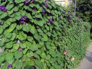 Фото ипомеи в саду
