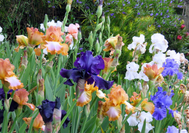 Описание цветка ириса