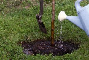 Полив деревца