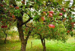 Правильно посаженная яблоня в саду