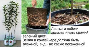 Выбор яблонь с закрытой корневой системой
