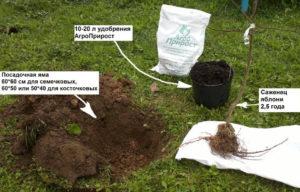 Подготовка ямы и саженца для посадки