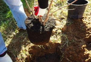 Яблоня с закрытой корневой системой - посадка