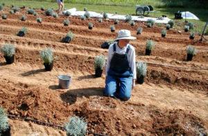 Место для выращивания лаванды