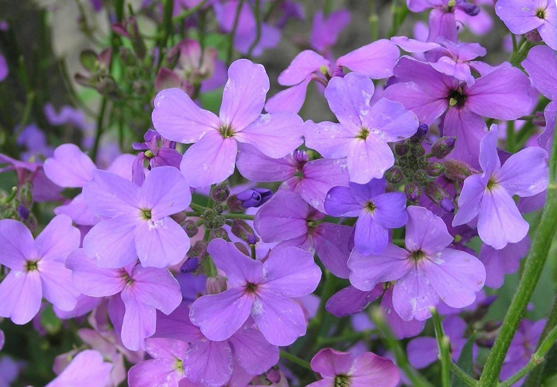 Цветы левкой посадка и уход
