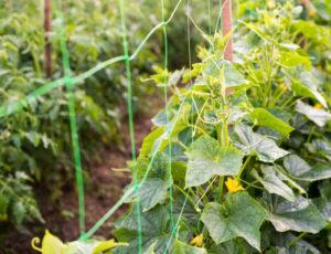 Агротехника выращивания огурцов на шпалере