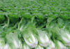 Выращивание китайской капусты
