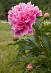 Описание цветка пион