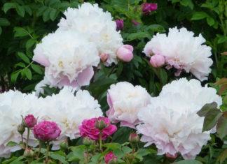 Пионы с розами - прекрасное соседство растений