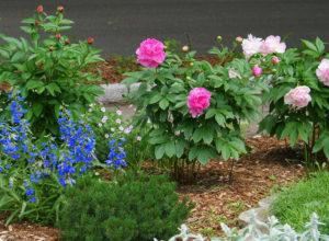 Место для пионов в саду