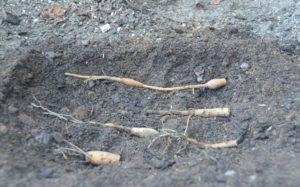 Размножение фрагментами корневища
