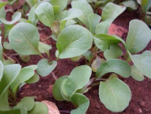 Всходы рукколы из семян