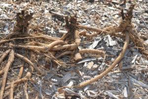 Сажаем пионы в открытом грунте