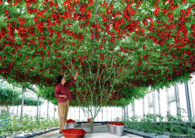 Выращенное томатное дерево