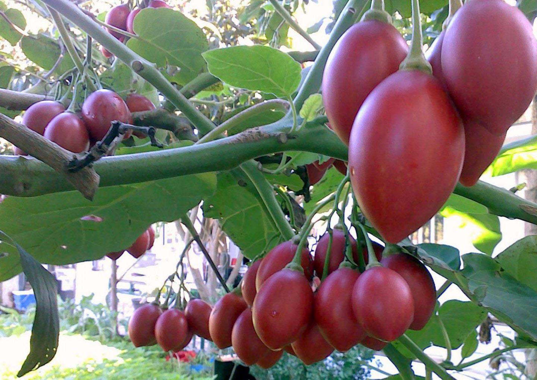 Томат спрут f1: тонкости выращивания в открытом грунте