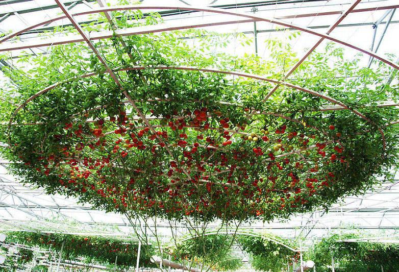 помидорное дерево фото агротехника выращивания заказать