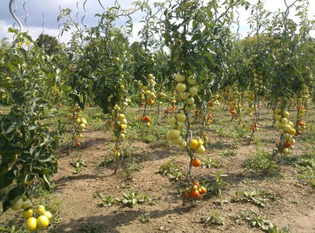 Схема посадки помидорного дерева