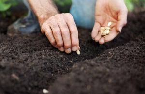 Посадка семян тыквы в почву