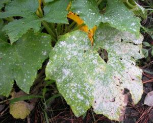 Листья тыквы в мучнистой росе
