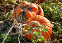 Технология выращивания тыквы на огороде