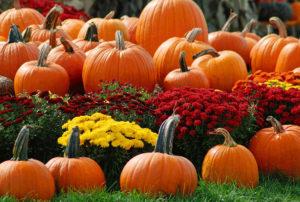Урожай тыквы - сбор и хранение