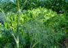 Удобрение, прополка и полив укропа