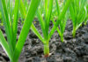 Выращивание чеснока на огороде